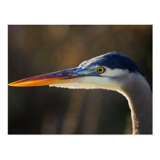 Great Blue Heron, close up portrait Postcard