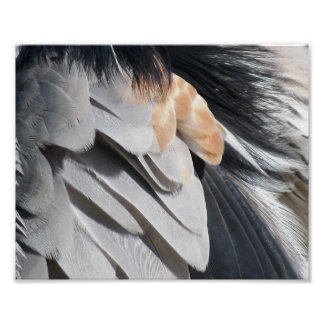 Great Blue Heron Feather Print