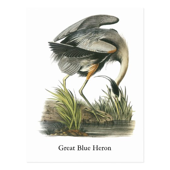 Great Blue Heron, John Audubon Postcard