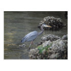 Great Blue Heron on the move Postcard