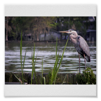 Great Blue Heron w Reeds Poster