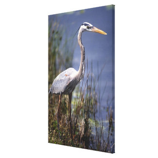 Great Blue Heron water bird found throughout Canvas Print
