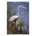 Great Blue Heron water bird found throughout Art Photo