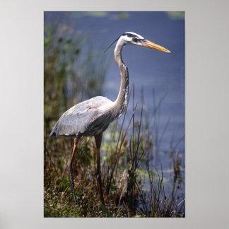Great Blue Heron water bird found throughout Poster