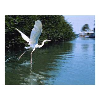 Great blue heron white phase Key Largo Florida Flyers