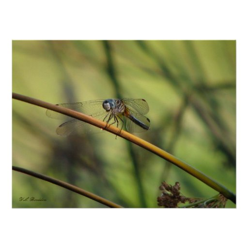 Great Blue Skimmer Dragonfly Print