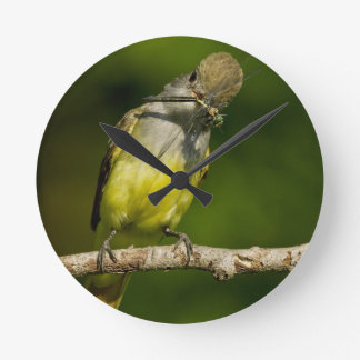 Great Crested Flycatcher eating Round Clock