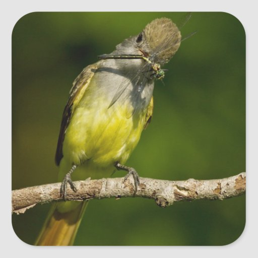 Great Crested Flycatcher eating Stickers