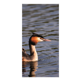 Great crested grebe with chick on back photo card template