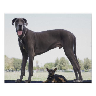 Great dane and small mixed-breed dog poster