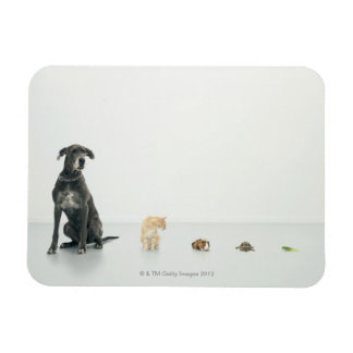 Great Dane, cat, guinea pig, tortoise and slug Rectangular Photo Magnet