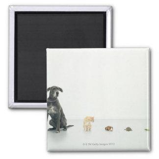 Great Dane, cat, guinea pig, tortoise and slug Square Magnet
