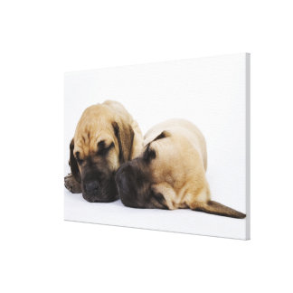 Great Dane puppies sleeping side by side in Canvas Print