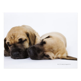Great Dane puppies sleeping side by side in Postcard