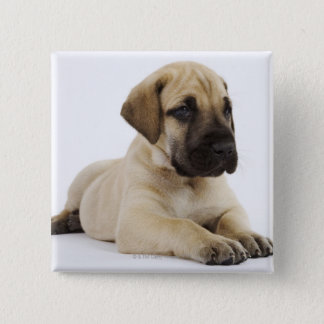 Great Dane puppy Lying in Studio 15 Cm Square Badge