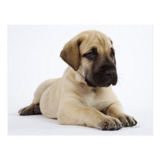 Great Dane puppy Lying in Studio Postcard