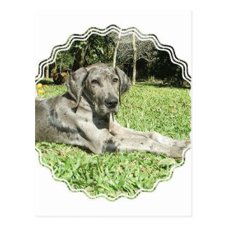 Great Dane Puppy Postcard