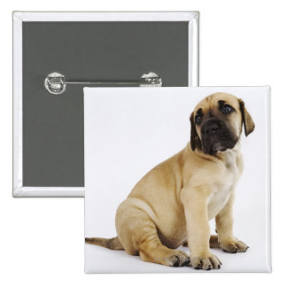 Great Dane Puppy Sitting in Studio 15 Cm Square Badge
