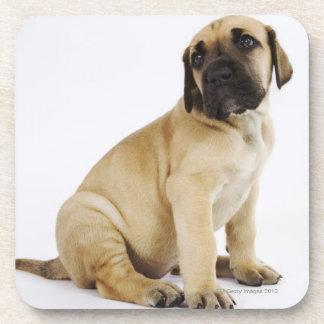 Great Dane Puppy Sitting in Studio Coasters