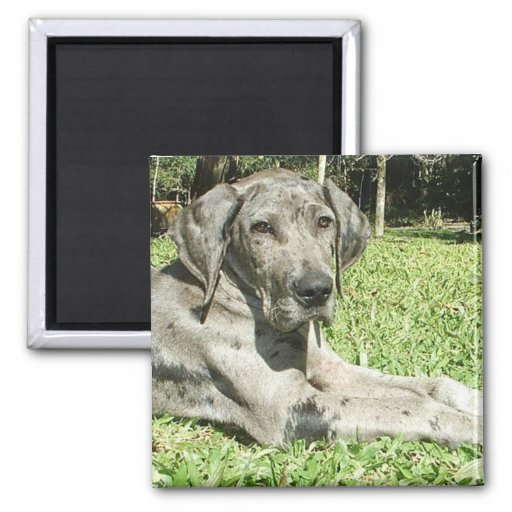 Great Dane Puppy Square Magnet Magnet