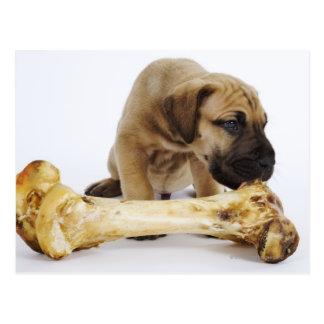 Great Dane puppy with bone in studio Postcard