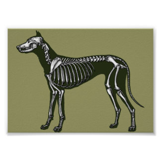 Great Dane skeleton Poster