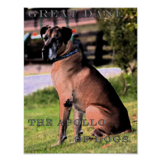 Great Dane, The Apollo Of Dogs Poster