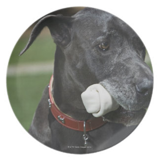 Great Dane with bone Plate