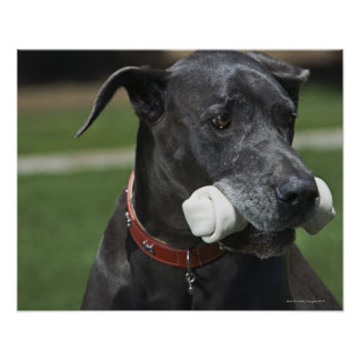 Great Dane with bone Poster