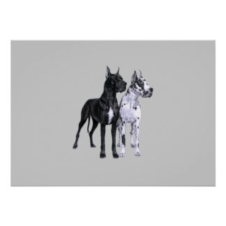 Great Danes Drawing Poster