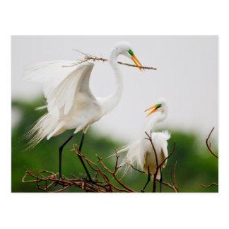 Great Egret (Ardea Alba) Breeding Activity Postcard
