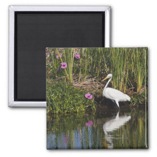 Great Egret hunting fish in freshwater marsh Square Magnet