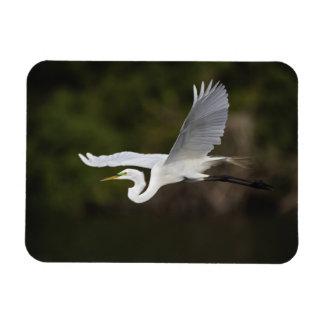 Great Egret in flight, Casmerodius albus, Rectangular Photo Magnet