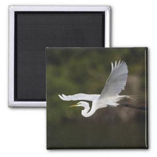 Great Egret in flight, Casmerodius albus, Square Magnet