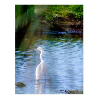 Great egret in wetlands postcard