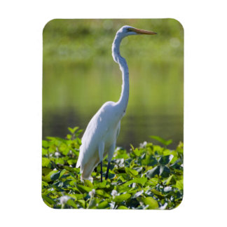 Great Egret, Iquitos, Maynas, Peru Magnets
