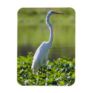 Great Egret, Iquitos, Maynas, Peru Rectangular Photo Magnet