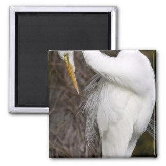 Great egret preening magnet