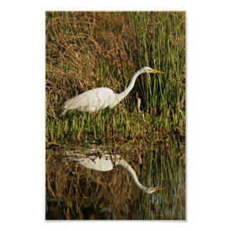 Great egret wading posters