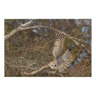 Great Gray Owl Flying Wood Print