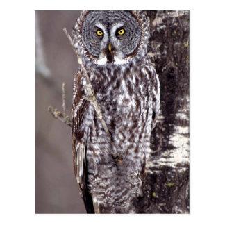 Great Gray Owl on an Aspen tree Postcard