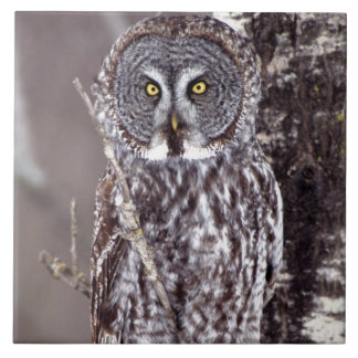 Great Gray Owl on an Aspen tree Tile