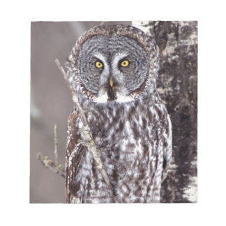 Great Gray Owl, Pine City MN perched on Aspen Notepad