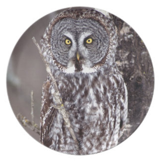 Great Gray Owl, Pine City MN perched on Aspen Plate