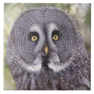 Great Gray Owl (Strix nebulosa) Tile