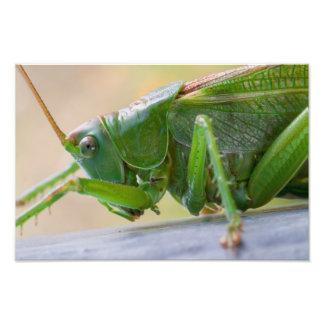 Great Green Bush Cricket Photo Art