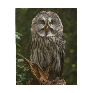 Great grey owl close up birds of prey photograph wood canvases