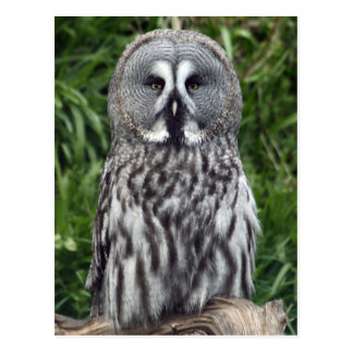Great Grey Owl Post Card