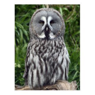 Great Grey Owl Postcard