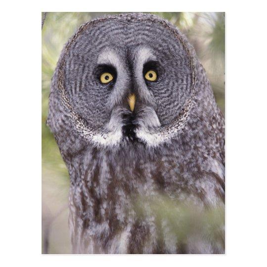 Great Grey Owl (Strix nebulosa) Postcard